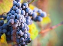 Виноградины вина на ветви лозы Стоковое Изображение