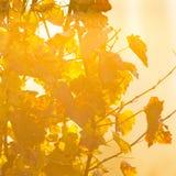 Виноградины вина на ветви лозы Стоковые Фото