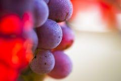 Виноградины вина на ветви лозы Стоковая Фотография