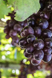 Виноградины виноградника Стоковое Изображение