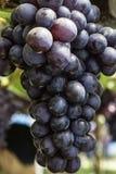 Виноградины виноградника Стоковая Фотография RF
