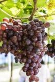 Виноградины виноградника Стоковое Фото