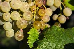 Виноградины вися от лозы Стоковая Фотография RF