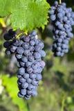 Виноградины вися от лозы Barbera Стоковое Изображение