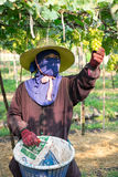 Виноградины выборов зеленые Стоковое Изображение RF