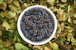 Виноградины в алюминиевом тазе на предпосылке листьев Стоковое Фото