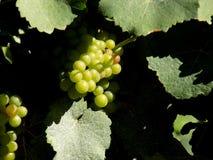 Виноградины в виноградниках Стоковое Изображение RF