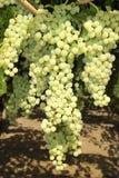 Виноградины в винограднике в центральной Италии Стоковое Фото