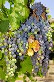 Виноградины в винограднике в центральной Италии Стоковые Фото