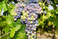 Виноградины в винограднике в центральной Италии Стоковое Изображение