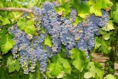 Виноградины в винограднике в центральной Италии Стоковые Изображения