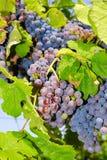 Виноградины в винограднике в центральной Италии Стоковое Изображение RF