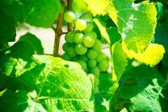 Виноградины в винограднике Стоковые Изображения