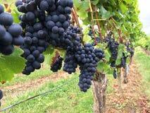 Виноградины вдоль Hiwweltour Heideblick стоковая фотография rf