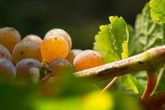 Виноградины в росе утра Стоковое Изображение