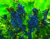 Виноградины голубые виноградины Стоковое фото RF