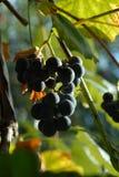 Виноградины греясь в солнце Стоковое Фото