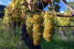 виноградины зрелые Стоковые Изображения RF