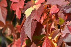 Виноградины листьев осени Стоковое Фото