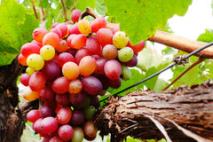 виноградины красные Стоковые Изображения