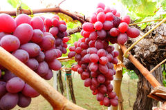 виноградины красные Стоковое фото RF