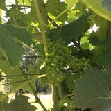 виноградины молодые Стоковое Изображение