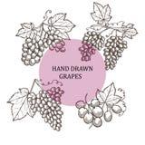 Виноградины нарисованные рукой иллюстрация штока