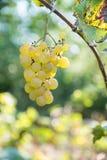 Виноградины на ветви с листьями Стоковые Изображения
