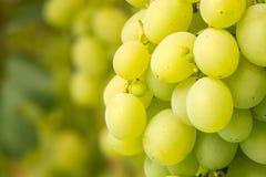 Виноградины на лозе Стоковые Изображения
