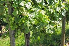 Виноградины на лозе Стоковые Фотографии RF