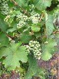 Виноградины на лозе Стоковая Фотография RF