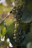 Виноградины на лозе стоковое фото rf