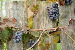Виноградины на фоне деревянной загородки Стоковые Фото