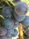 Виноградины на vine3 Стоковое фото RF