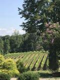 Виноградины на vine4 Стоковая Фотография