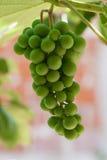 виноградины незрелые Стоковые Фотографии RF