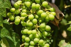 виноградины незрелые Стоковые Фото