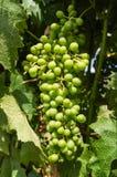 виноградины незрелые Стоковые Изображения