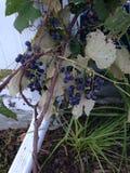 Виноградины лозы Стоковое Изображение RF