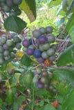 Виноградины опоссума Стоковая Фотография