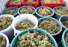 Виноградины осени жмут готовое быть сжиманным, зона Chianti, Тоскана, Италия стоковые фотографии rf