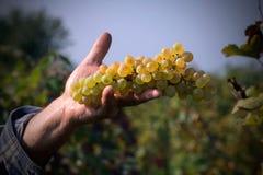 Виноградины пригорошни Стоковые Фотографии RF