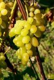 виноградины пука зрелые Стоковое фото RF