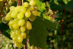 виноградины пука зрелые Стоковое Изображение RF