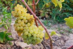 виноградины пука зрелые Стоковые Изображения