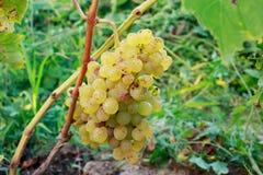 виноградины пука зрелые Стоковые Фотографии RF