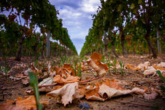 Виноградины растя в винограднике стоковое фото rf