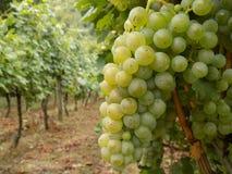 Виноградины Рислинга Стоковые Фото