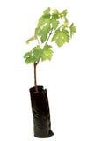 Виноградины сеянца стоковое фото rf