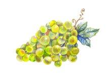 виноградины с акварелью лоз Стоковые Изображения